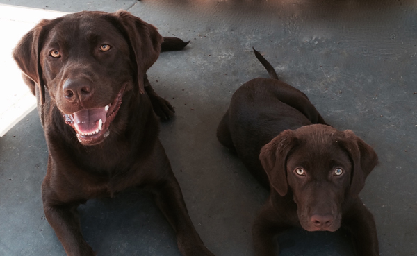 brown-dogs1